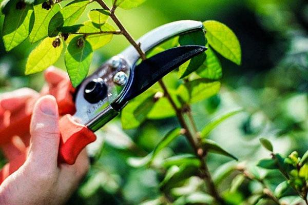 Украшение сада - магония падуболистная