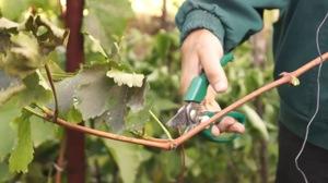 Как осенью посадить виноград черенками в грунт
