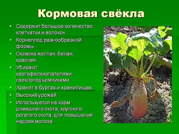 Правильное выращивание и уход за кормовой свеклой