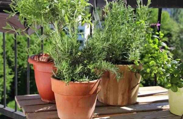 Выращивание розмарина дома в горшке: посадка и уход