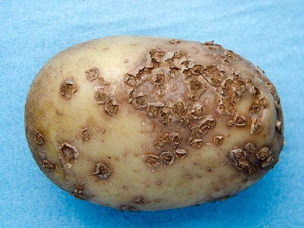 Как правильно бороться с паршой картофеля