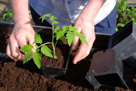Томат Цунами: характеристика, выращивание, отзывы, урожайность