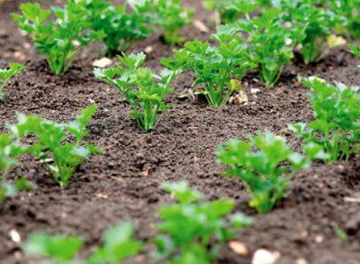 Как получить хороший урожай петрушки? Когда ее сажают весной в открытый грунт