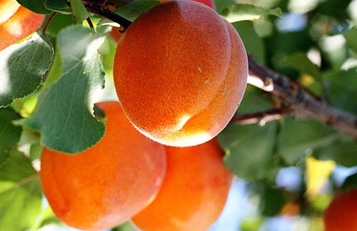 В чем разница между жерделой и абрикосом