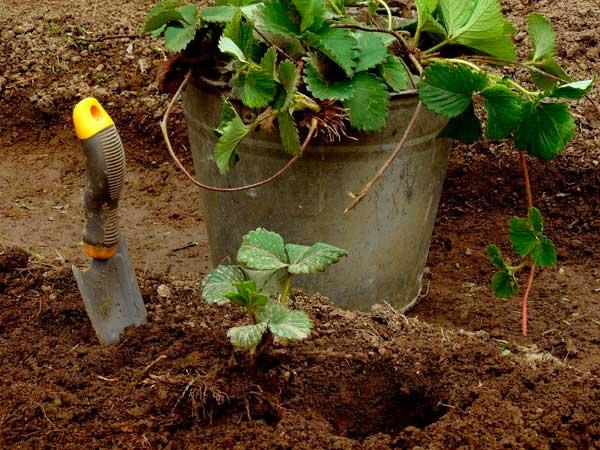 Чем и как нужно удобрять клубнику осенью