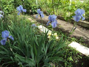 Выращивание цветов петушки и уход за ними на дачном участке