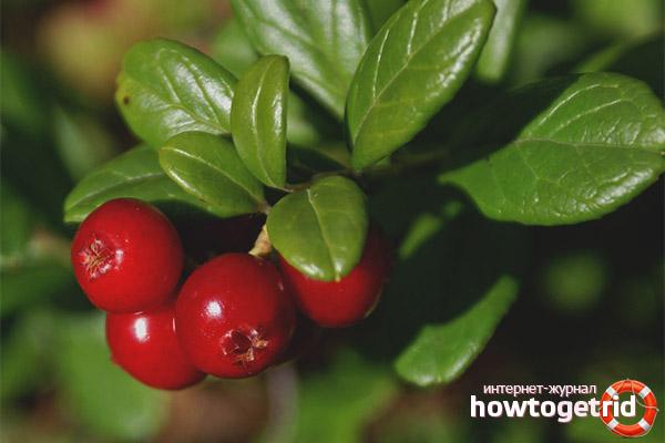 Листья брусники - лечебные свойства и противопоказания