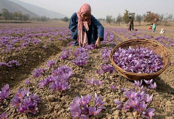 Полезные свойства шафрана и его применение – дорогостоящая формула красоты