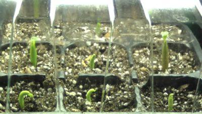Цветок любви - на вашем участке - гибискус садовый: размножение и уход