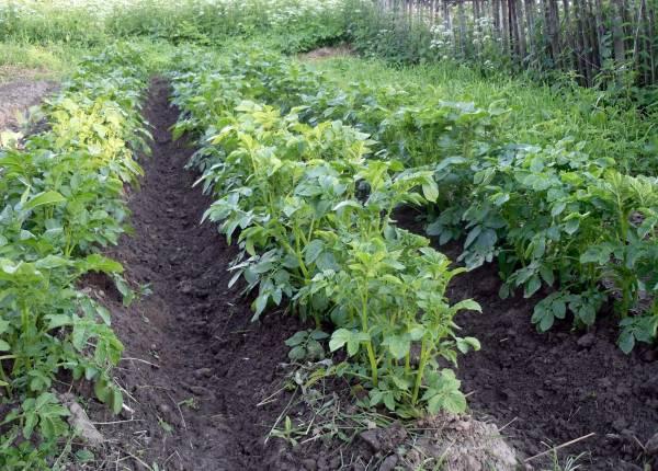 Лучшие сорта картофеля для Сибири: делаем правильный выбор