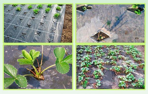 Когда пересаживать клубнику на новое место осенью: сроки и технология