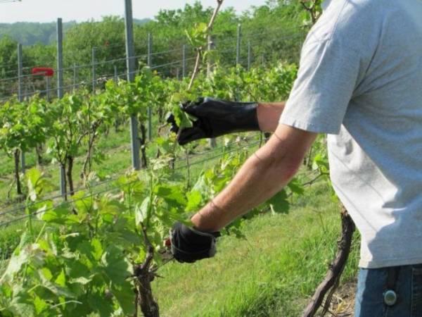 Подкормка винограда осенью: готовимся к урожайному лету