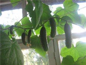 Рекомендации по выращиванию огурцов в квартире, доме или подвале: какой сорт выбрать, когда лучше садить, как правильно ухаживать