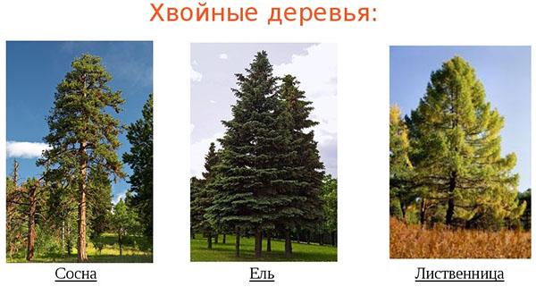 Это интересно знать - продолжительность жизни деревьев