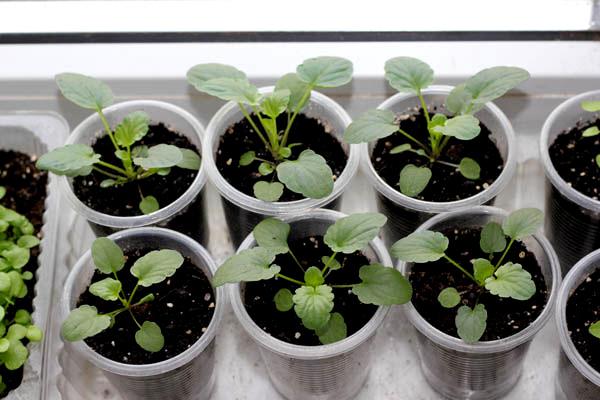 Выращивание виолы из семян: технология посева и выращивания рассады виолы
