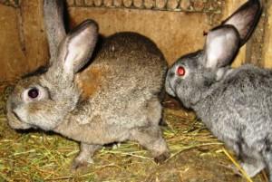 Случка крольчихи после окрола: сроки и технологии