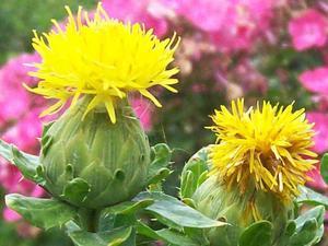 Выращивание, свойства и применение сафлора красильного