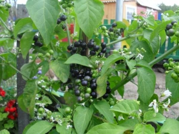 Обязательно посадите на даче полезную ягоду - санберри