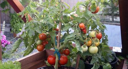 Индетерминантные и детерминантные томаты - что это такое