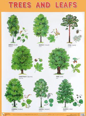 Виды и названия деревьев России и Москвы