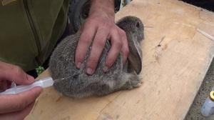 Вакцинация и прививки кроликов в домашних условиях
