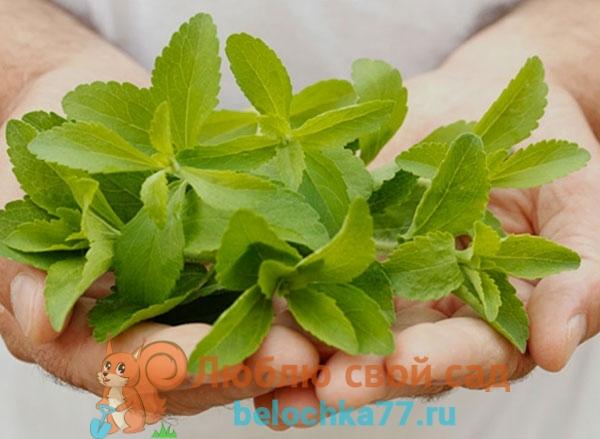 Стевия - выращивание в домашних условиях из семян