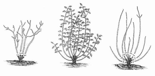 Бисерный кустарник тамарикс на даче: тонкости посадки и ухода