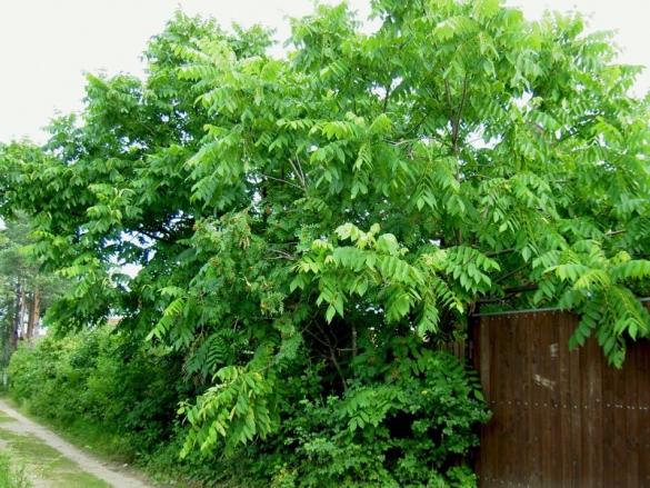Орехи из Маньчжурии