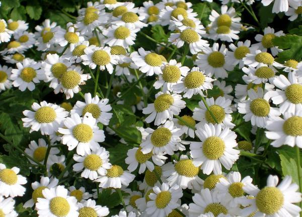 20 распространённых цветов похожих на ромашки
