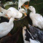 Утки муларды: выращивание в домашних условиях