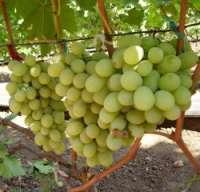 Виноград Сорта Крайнова В