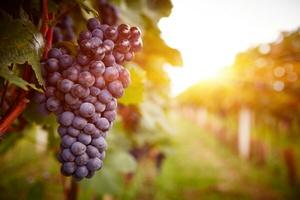 Обработка винограда осенью медным купоросом и другими средствами