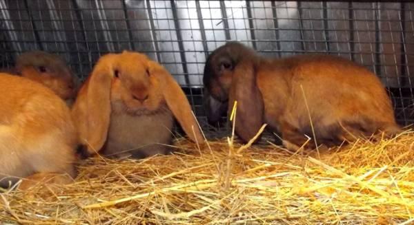 Разведение кроликов по методу Михайлова: описание и отличие от традиционной системы выращивания