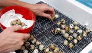 Инкубация перепелиных яиц: от выбора яиц до вылупления