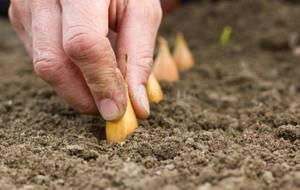 Репчатый лук: посадка и уход в открытом грунте