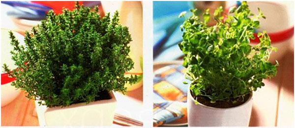 Простое выращивание тимьяна на подоконнике