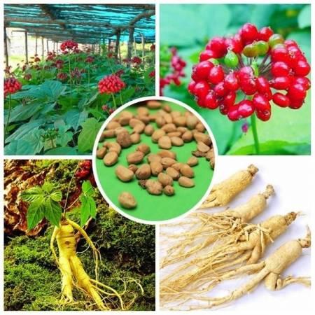 Выращивание женьшеня из семян – тонкости процесса